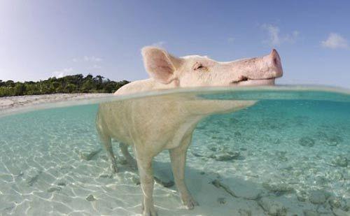 一头猪跳入巴哈马群岛大沙洲附近的海水中凉快一下